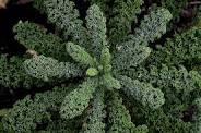 Kale image